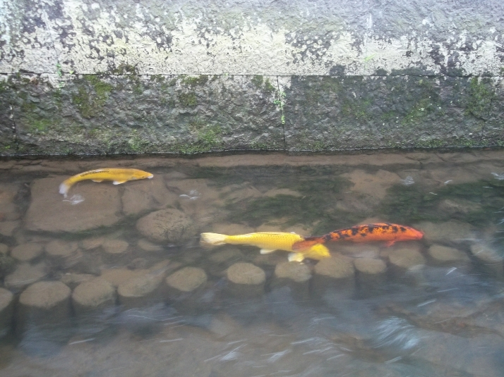 Японские карпы бесстрашно живут бок о бок с людьми. И никаких аквариумов!