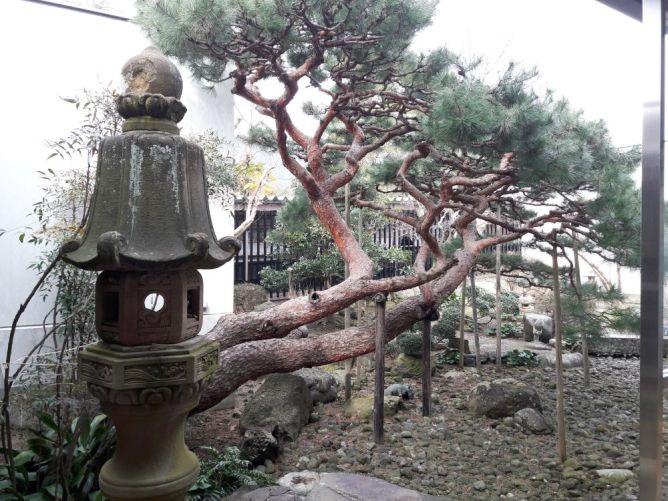 Сосна — внутренний двор в музее Мидзуки Сигэру © фото Татьяна Лепихина